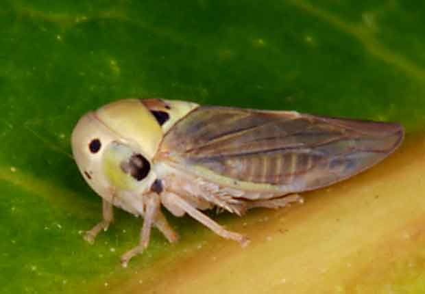 the mango tree has one of these hoppers on every leaf