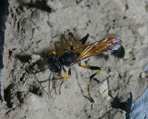 Sphecidae 1