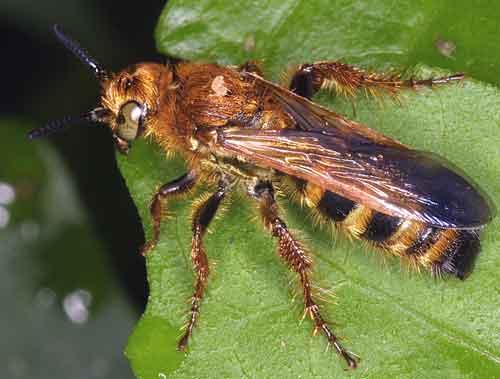 Hymenoptera 6