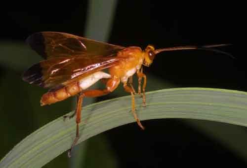 Hymenoptera 8