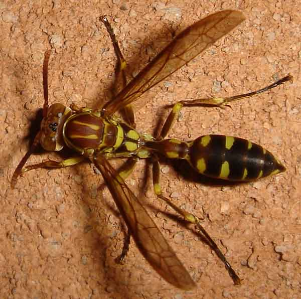 Hymenoptera 11