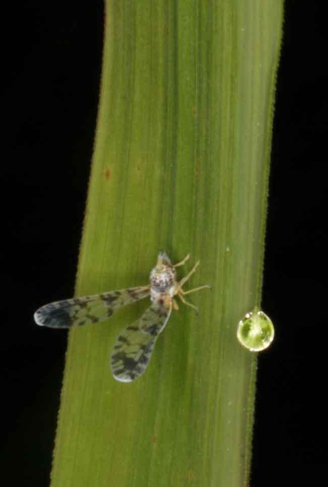 Proutista moesta Homoptera Derbidae