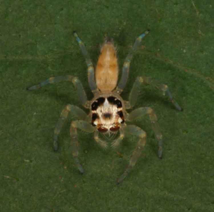 Salticidae, possibly Epeus flavobilineatus