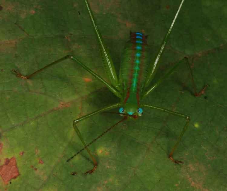 Gryllidae again