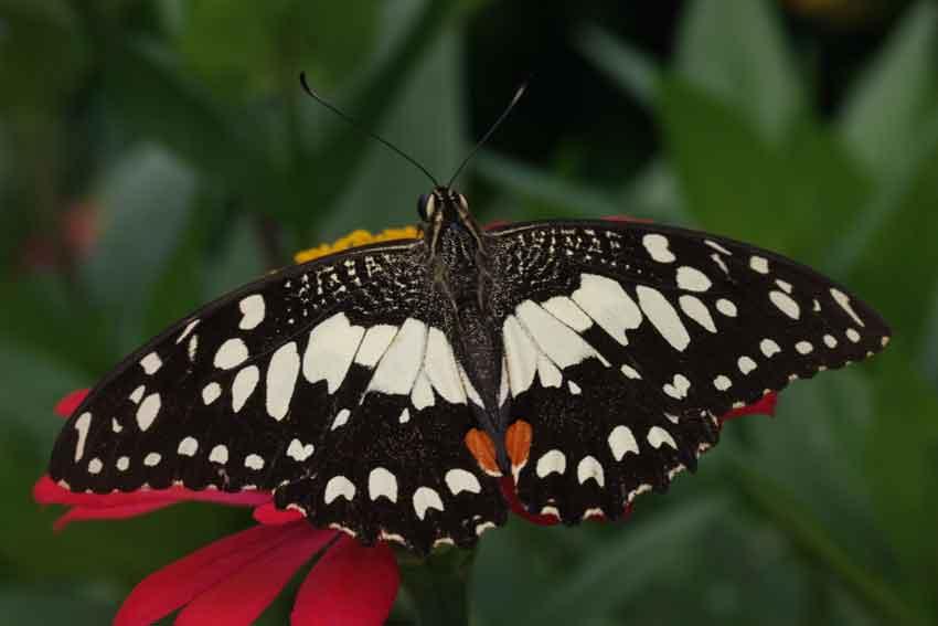 Papilio demoleus (found in gardens everywhere)