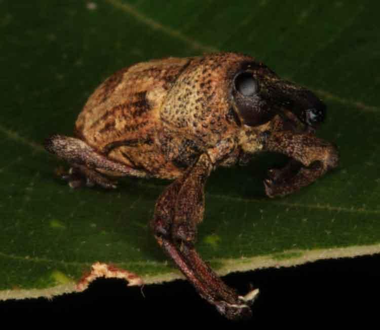 Sternochetus frigidus Coleoptera Curculionidae