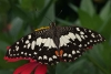 Papilio demoleus (found in gardens everywhere)