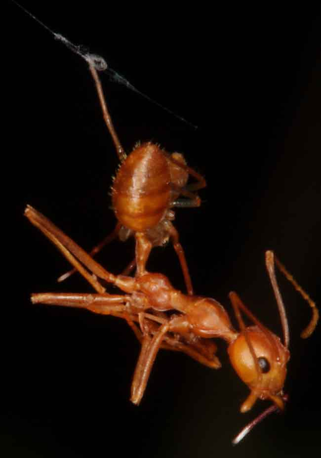 leading players are ant-mimicking spider and an ant