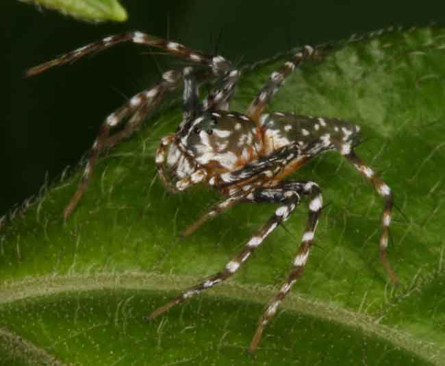 Jumping spider1