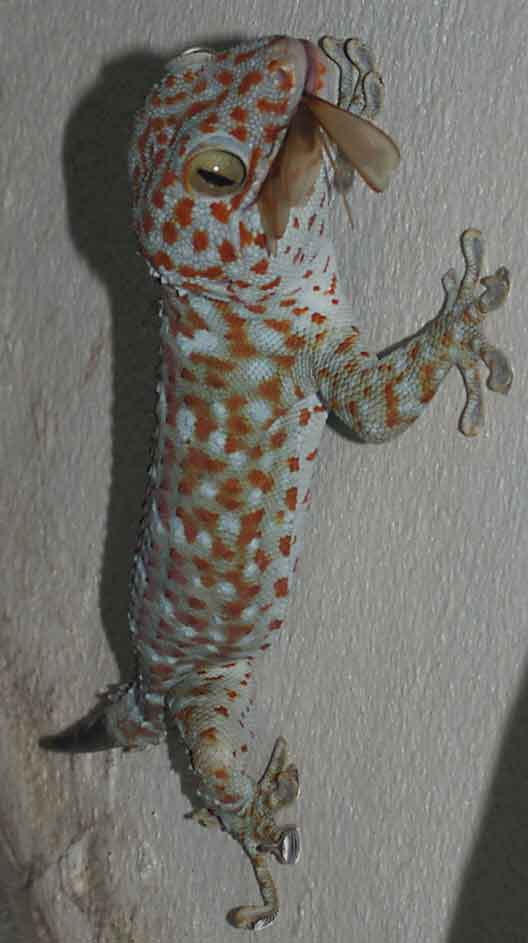 gecko enjoying a termite