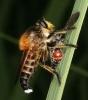 Asilidae Robber flywith prey