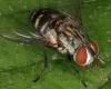 Mahasena corbetti Psychidae Tachinid