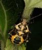Eurydema ornata (Pentatomidae) or similar