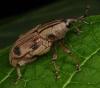 Curculionidae1