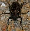 Eucrinae Cheirotonus gestroi female