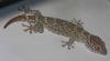 Gecko again