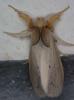 Lymantriidae1