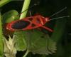 Macroceroea grandis (Pyrrhocoridae)