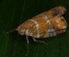Ricaniidae2