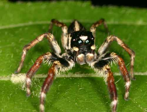 Salticidae Jumping spider Cosmophasis sp.