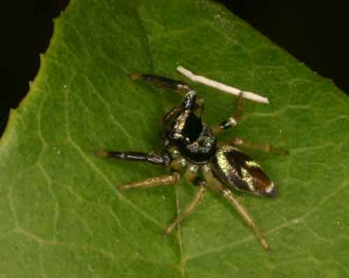 Salticidae Thiania bhamoensis