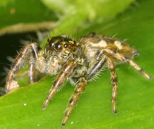 Salticidae Jumping spider 6
