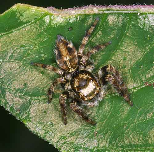 Salticidae Jumping spider 7