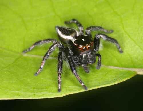 Salticidae Cosmophasis sp.