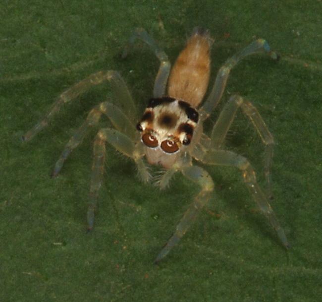 Salticidae possibly Epeus flavobilineatus