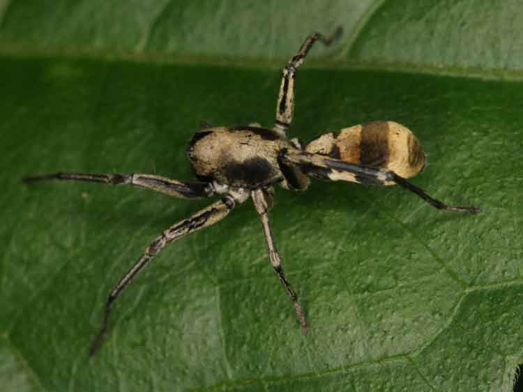 ant-mimicking spider 1