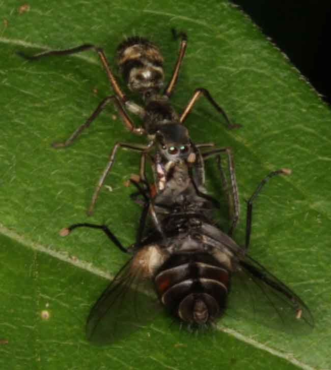 ant-mimicking jumping spider with prey