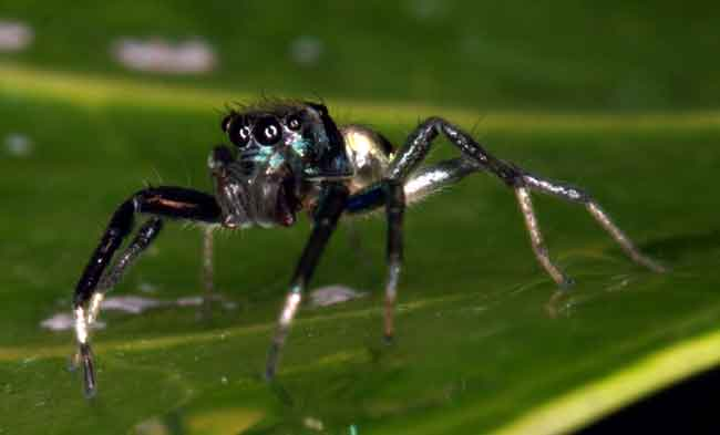 tiny jumping spider...