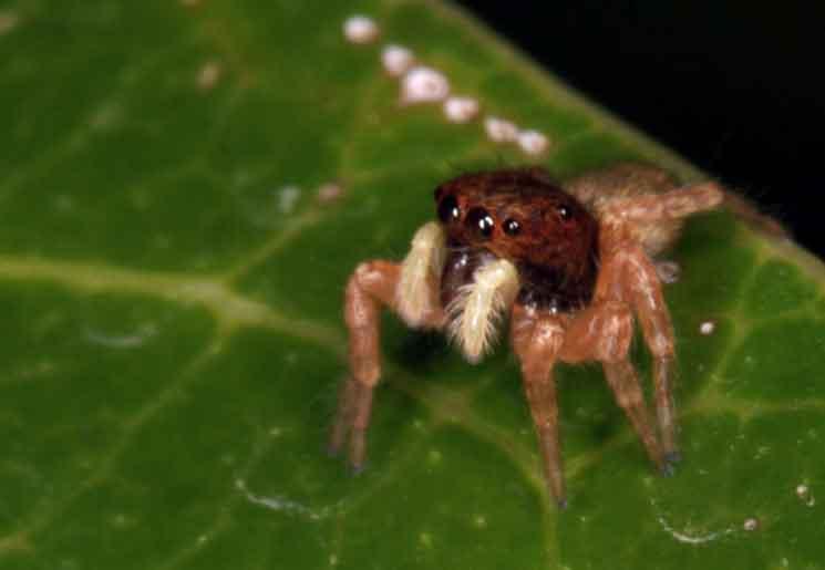 Evarcha flavocincta possibly
