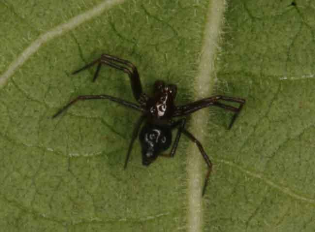 Castianeira sp.