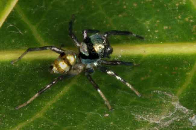 Phintella sp. probably vittata