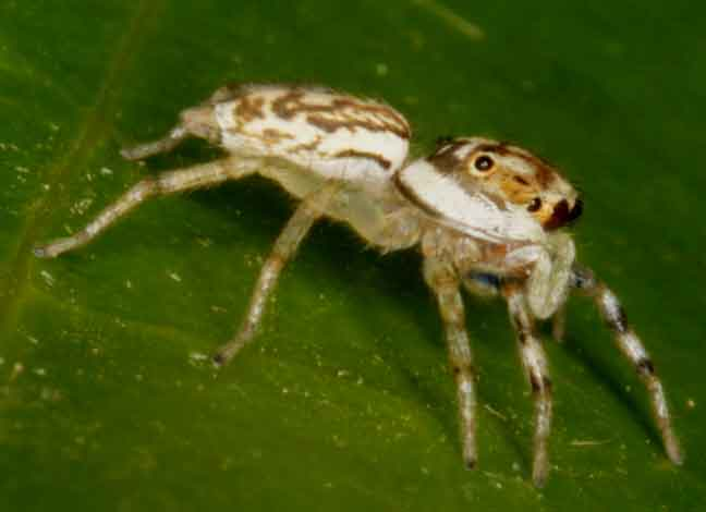 another jumping spider