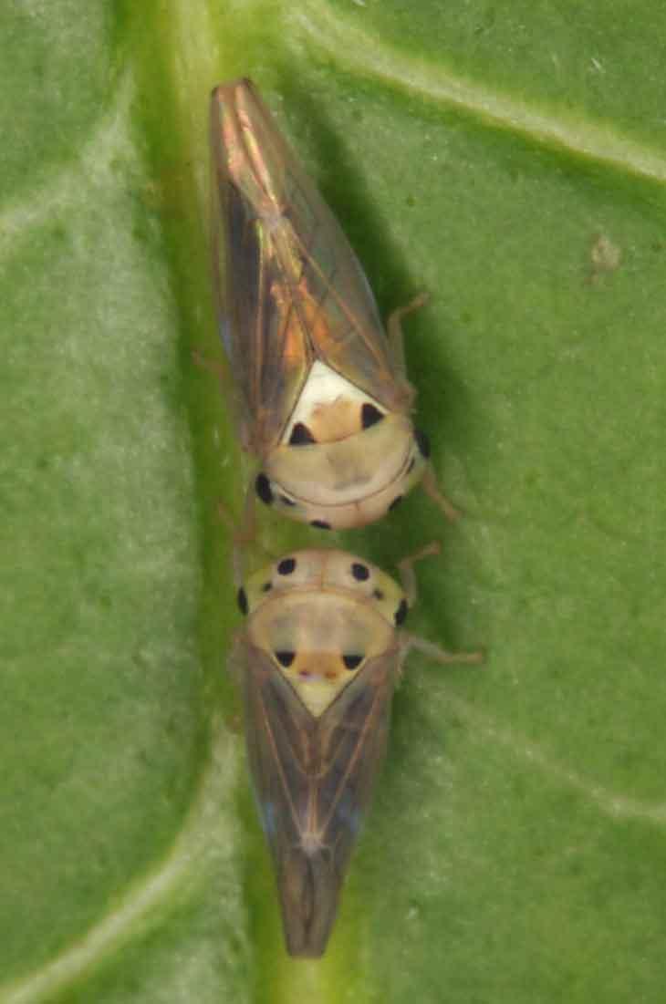 Idioscopus clypealis or I. nagpuriensis