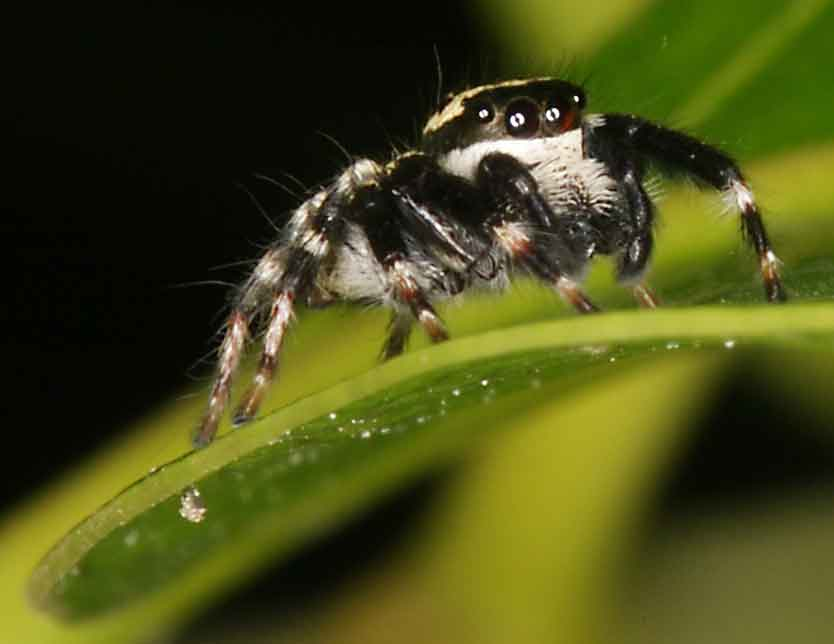 tiny jumping spider trying to look big