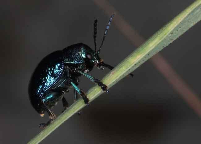 Blue milky weed beetle, Chrysochus pulcher