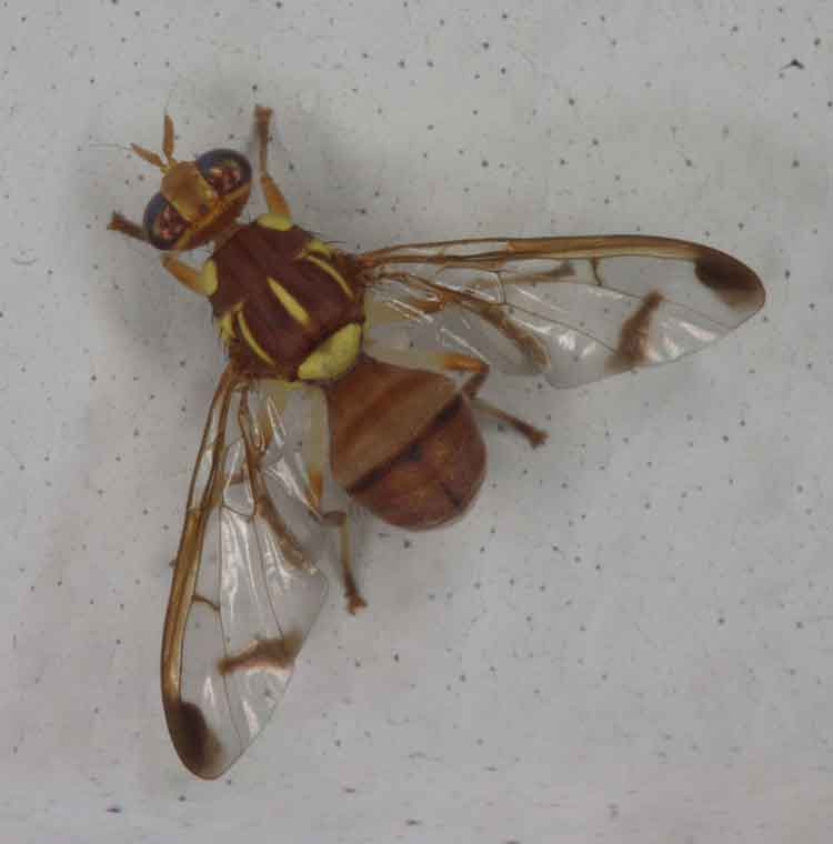 melon fruit fly, Bactrocera cucurbitae