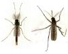 two elegant mosquitoes on the wall of the house