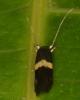 a tiny Nemophora sp?