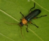 looks like a Cantharidae (Soldier beetle)