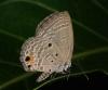 Plain cupid, Chilades pandava