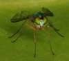 another long-legged fly