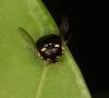 Black shield bug, Brachyplatys sp.