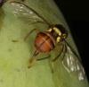 Guava fruit fly, Bactrocera correcta depositing eggs on mango