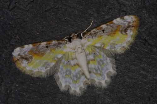 Acolutha pictaria