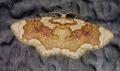 Palpoctenidia phoenicosoma
