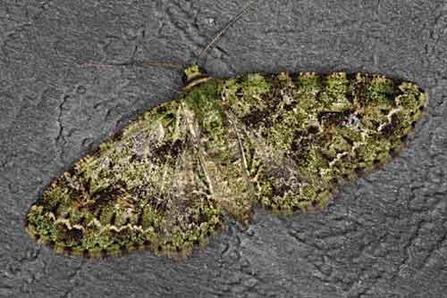Phthonoloba decussata